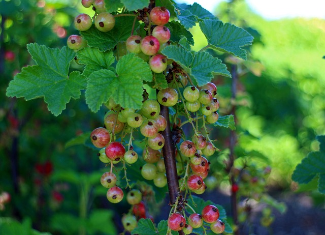 Free currants ribes gooseberry greenhouse currant red