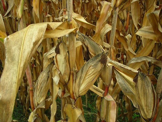 Free corn leaves field corn field dry drought