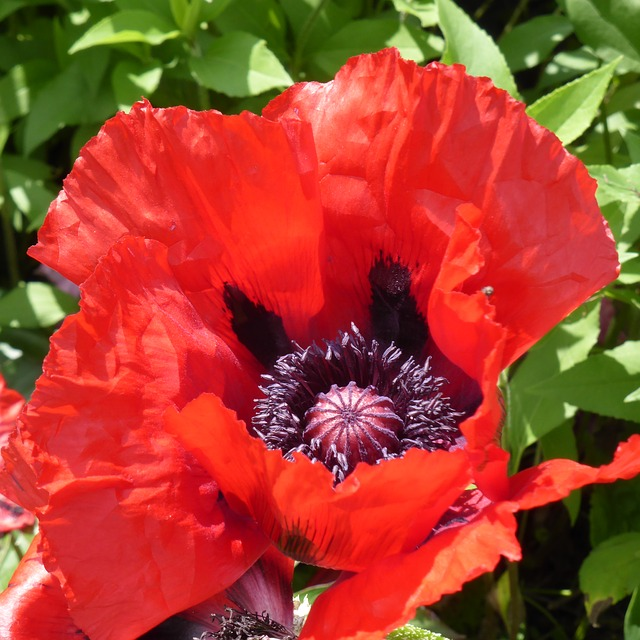Free klatschmohn poppy flower mohngewaechs red