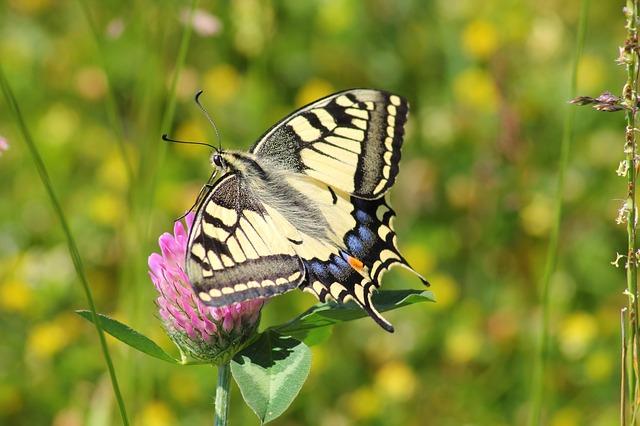 Free               swallowtail butterfly swallowtail butterflies