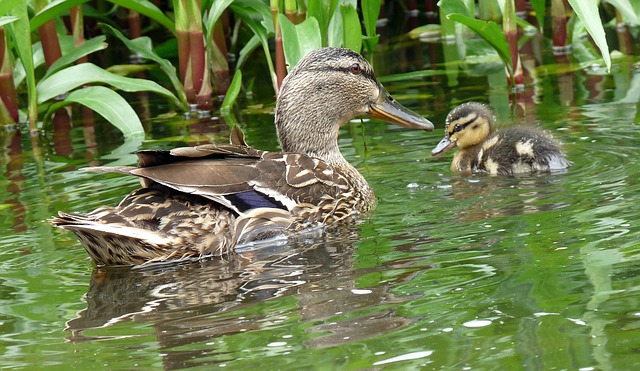 Free duck water nature chick