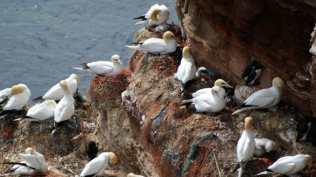 Free helgoland northern gannet nest bird hatching breed