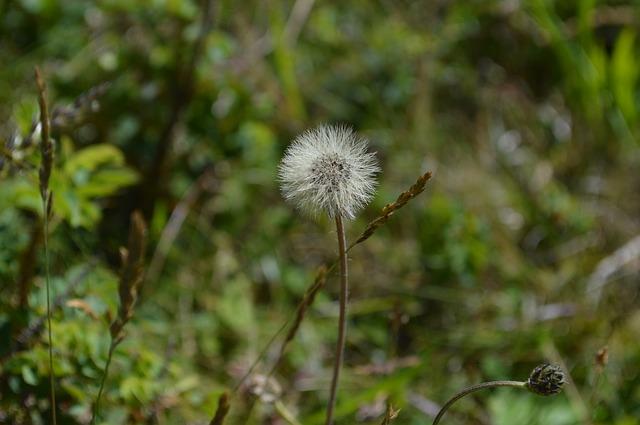 Free dandelion scoop fluff seeds bloom nature