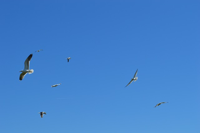 Free seagulls fly birds colony air blue wings bird