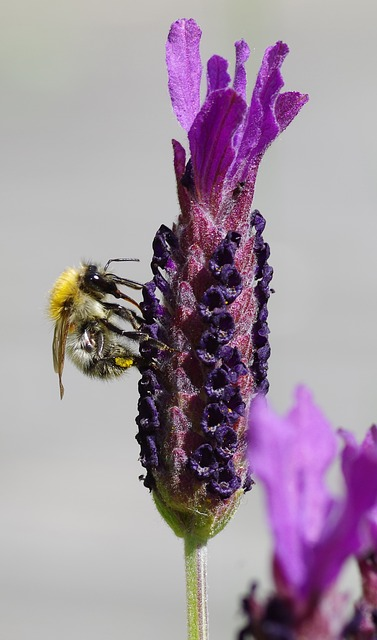 Free lavender lavender blossom flower hummel purple