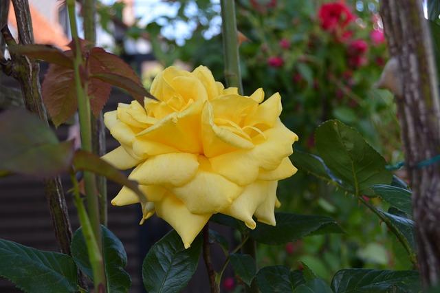 Free rose yellow flower garden nature summer bloom