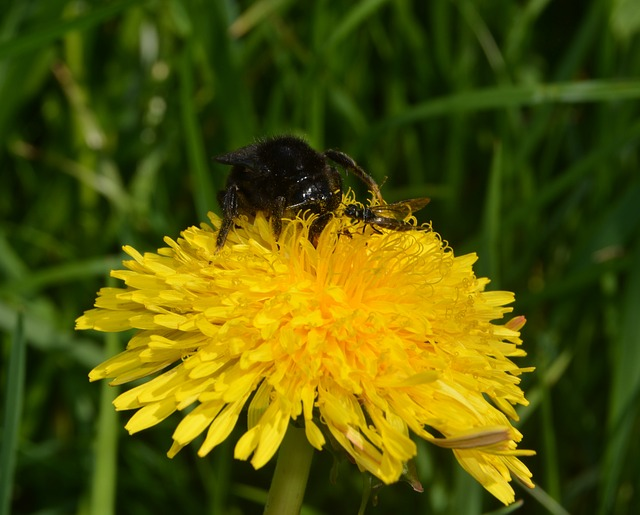 Free hummel insect flower pollen nature close meadow