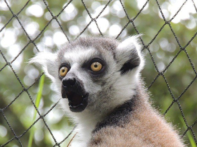 Free lemur animals maki madagascar wild zoo