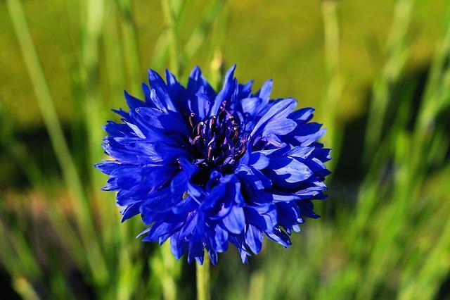 Free cornflower flower blue centaurea cyanus meadow