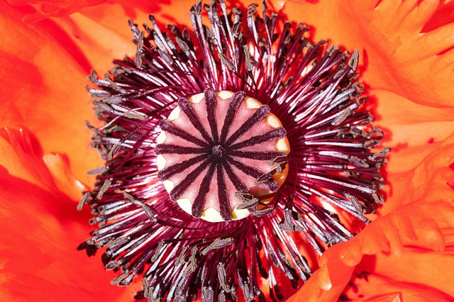 Free ornamental poppies half rosette plant flower nature