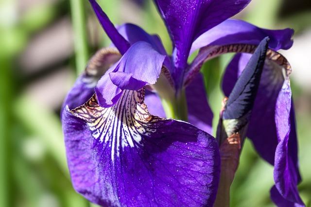 Free iris iris pseudacorus purple iris plant iridaceae