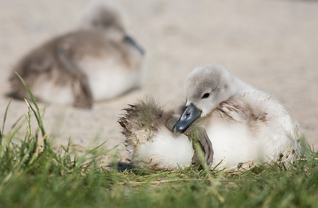 Free swan young animal animal clean water waters
