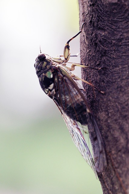 Free summer cicada insects