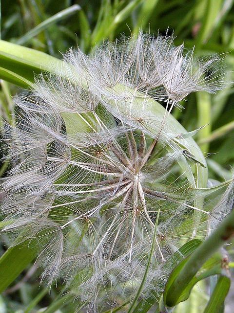 Free dandelion fluff an unwound spring