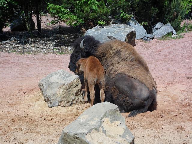 Free buffalo animal young animal