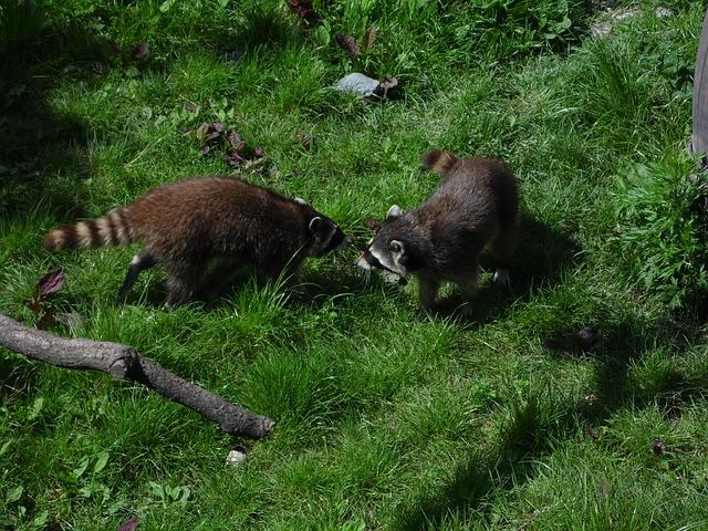 Free raccoons meadow raccoon animal furry nature