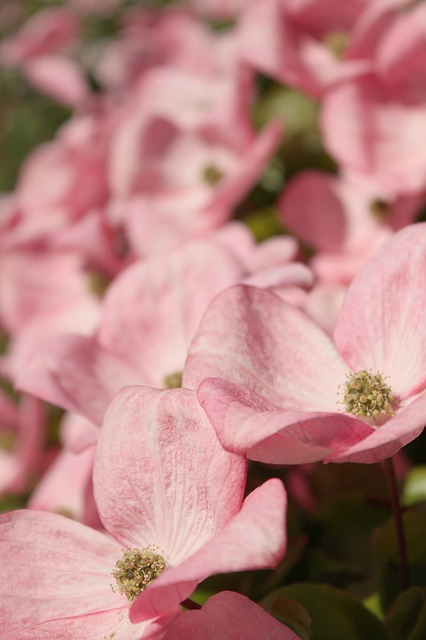 Free pink dogwood dogwood woody plant ornamental tree