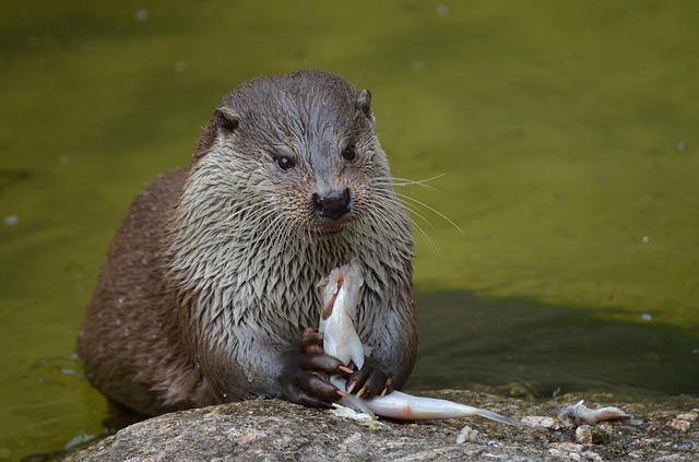 Free otter feeding eat food