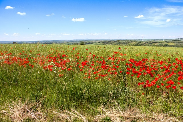 Free poppy meadow poppy klatschmohn lower austria fields