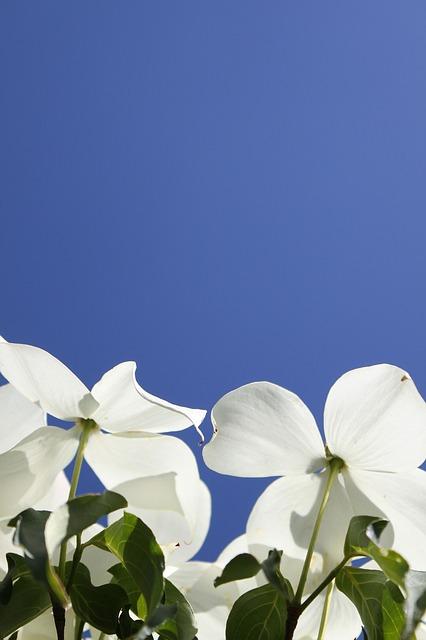Free dogwood flowers blue sky white flowers blue white