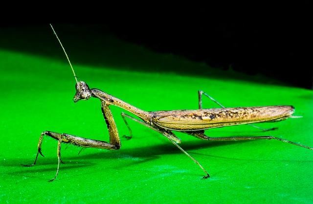 Free praying mantis fishing locust close