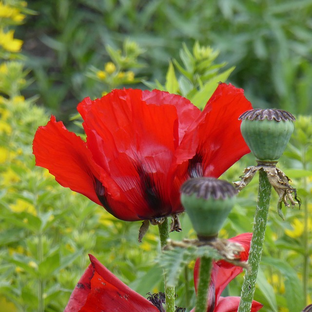 Free poppy flower field nature mohngewaechs red