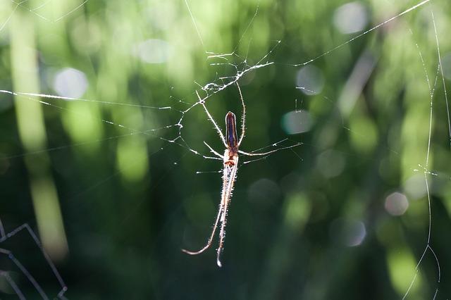 Free strecker spider tetragnatha extensa web spider