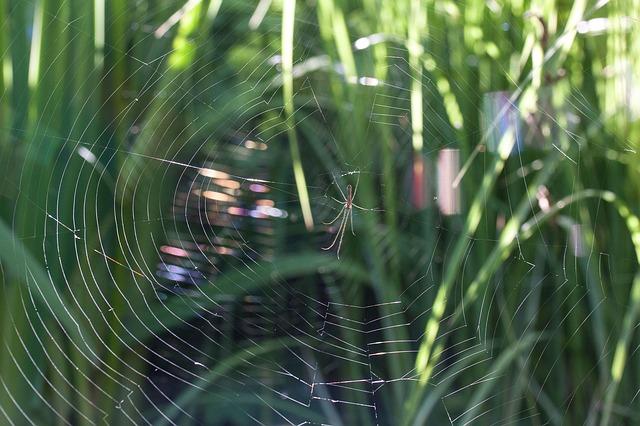 Free strecker spider tetragnatha extensa spider cobweb