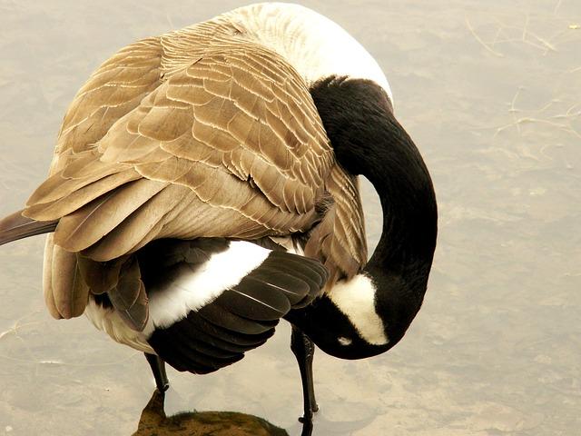 Free canada goose goose water bird bird clean