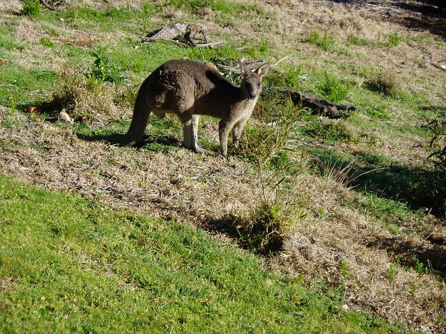 Free kangaroo australia marsupial tail kangaroos animal
