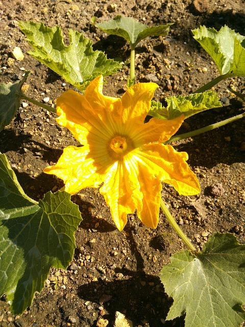 Free Photos: Zucchini garden yellow zucchini plant food | Karin Lissi Obendorfer