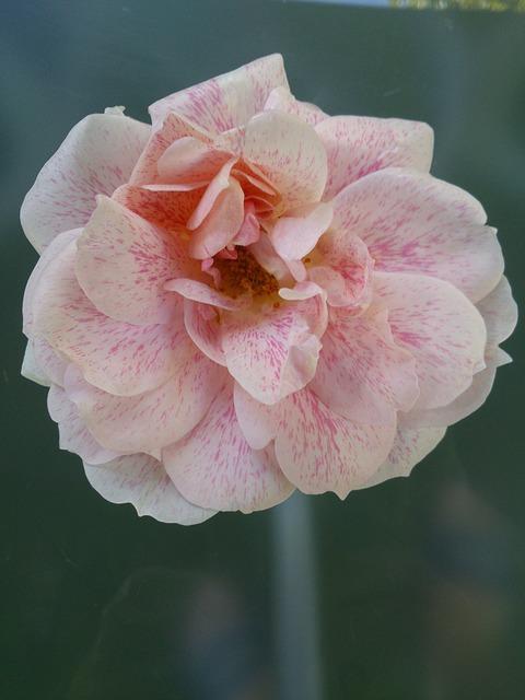 Free rose garden pink flower rose family