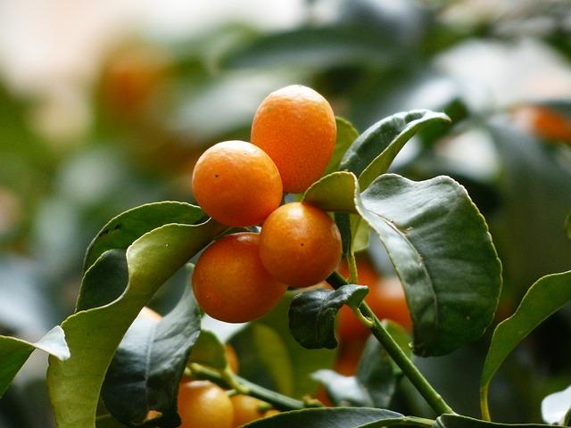 Free kumquats tree branch leaves fruits fruit