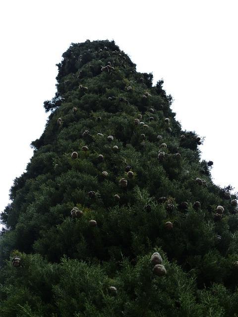 Free cypress cypress cone cupressus cypress under glass