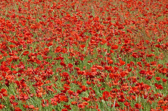 Free poppy landscape nature fields campaign red spring