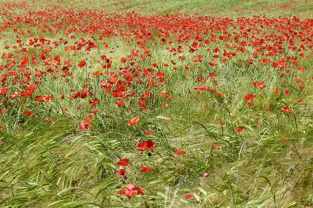 Free poppy red landscapes nature campaign spring