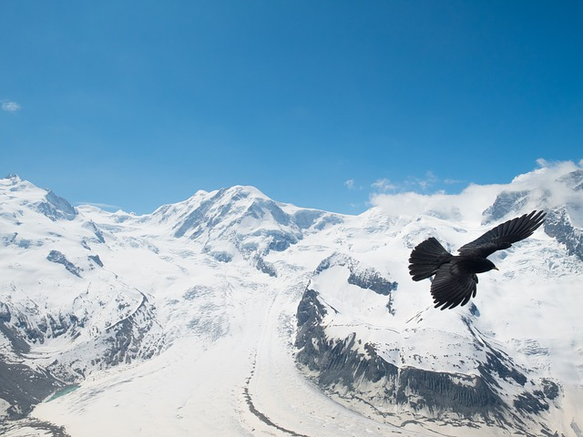 Free chough jackdaw bergdohle bird switzerland valais