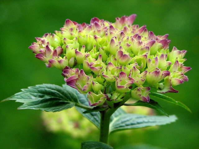 Free hydrangea bloom grow flower green pink flowers