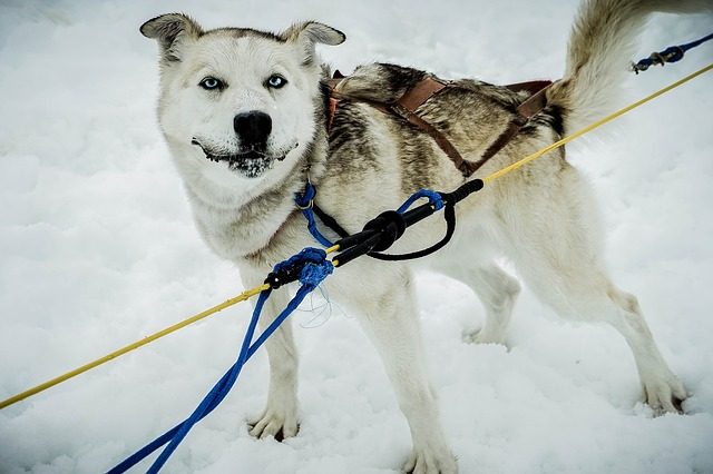 Free sled dog alaska dog sled sled dog sledding snow