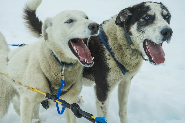 Free sled dogs alaska dog sled sled dog sledding snow