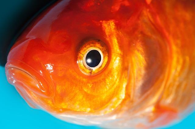 Free eye goldfish freshwater fish karpfenfisch