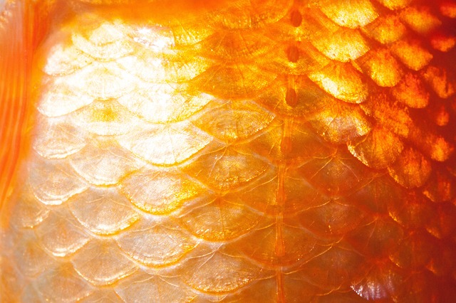 Free scale fish scales goldfish freshwater fish