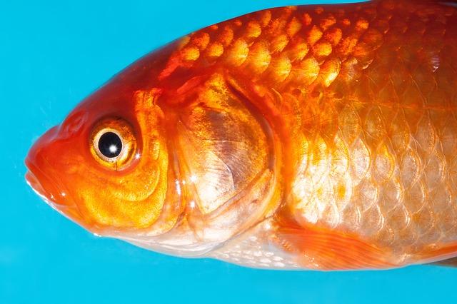 Free goldfish freshwater fish karpfenfisch cyprinidae