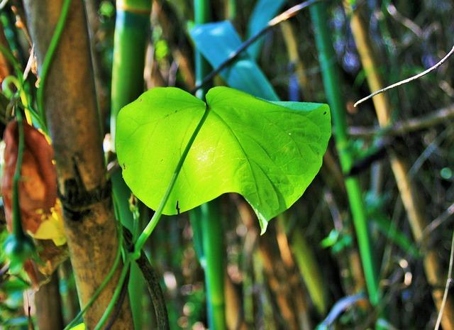 Free morning glory green leaf leaf green bright light