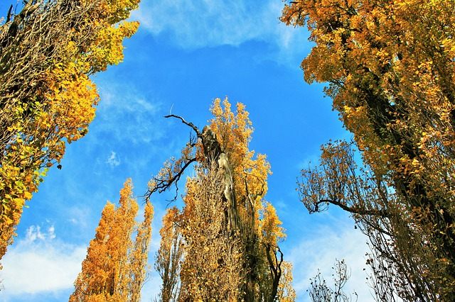 Free poplar trees trees poplar tall leaves yellow