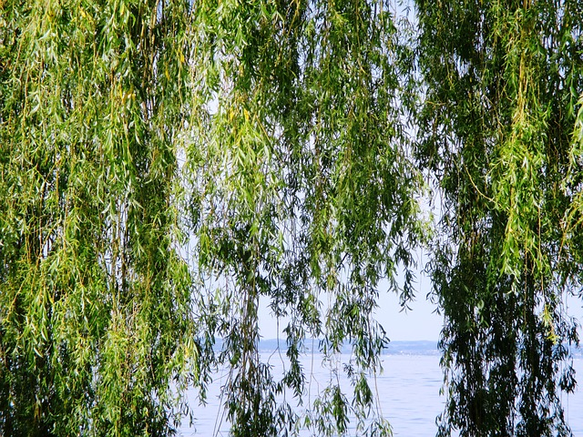 Free weeping willow tree leaves water canopy green