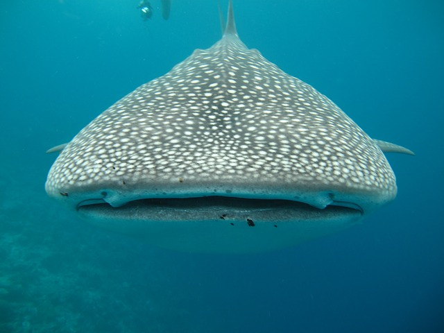 Free whale shark maldives sea