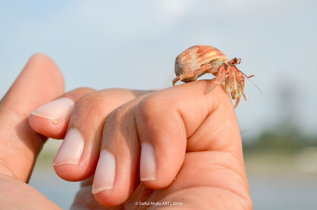 Free hermit crab crab little cute animal sea life hand