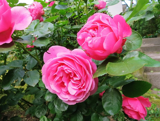 Free rose double flower lush garden red macro