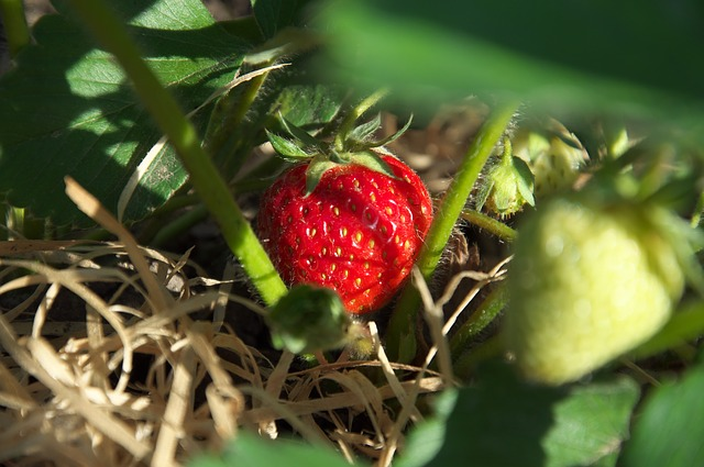 Free strawberry summer red fruits